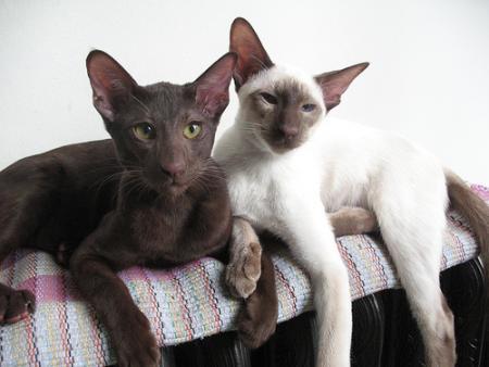Koty Egipskie Mau Psy I Koty