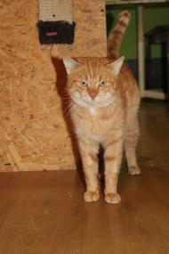 Łobuz - wielki kot o jeszcze większym serduchu